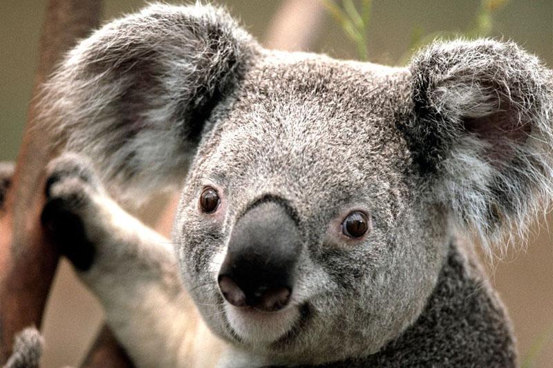 koala-bear-australia-2